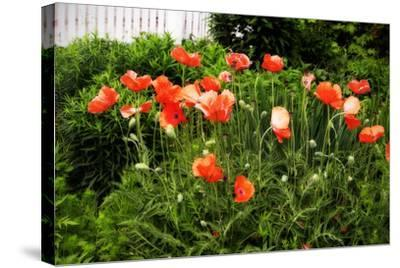 Poppies I-Alan Hausenflock-Stretched Canvas Print
