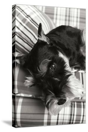 Schnauzer Black and White-Karyn Millet-Stretched Canvas Print