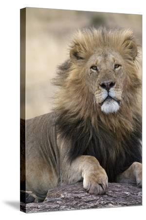 Africa's King-Susann Parker-Stretched Canvas Print