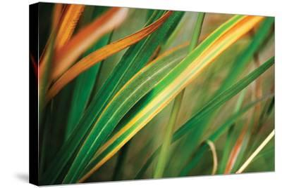 Grass in Fall I-Bob Stefko-Stretched Canvas Print
