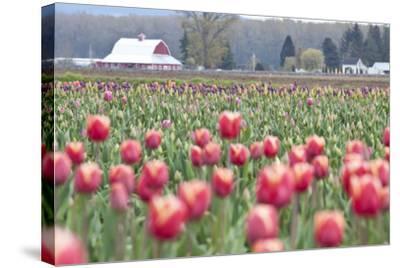 Tulip Homestead-Dana Styber-Stretched Canvas Print