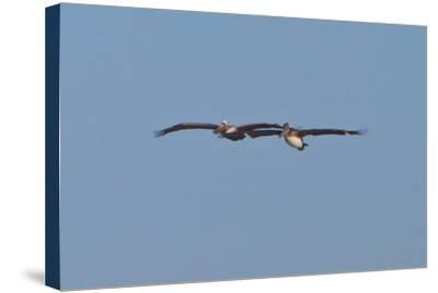Pelicans in Flight I-Lee Peterson-Stretched Canvas Print