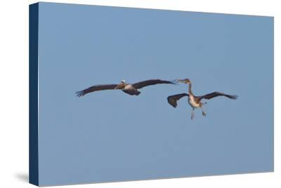 Pelicans in Flight II-Lee Peterson-Stretched Canvas Print