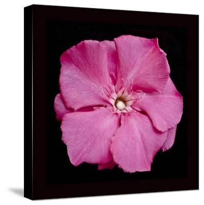 Pink Flower-Lee Peterson-Stretched Canvas Print
