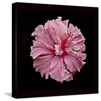 Pink Hibiscus-Lee Peterson-Stretched Canvas Print
