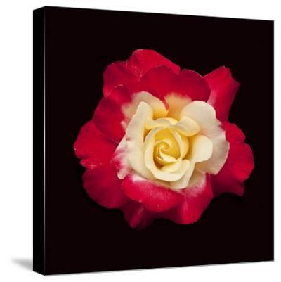 Red and White Rose-Lee Peterson-Stretched Canvas Print