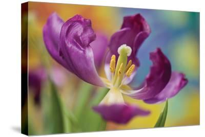 Purple Tulip I-Lee Peterson-Stretched Canvas Print