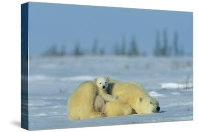 A Sleepy Polar Bear Mother (Ursus Maritimus) Serves As a Protective Bed for Her Cub-Norbert Rosing-Stretched Canvas Print