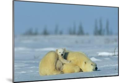 A Sleepy Polar Bear Mother (Ursus Maritimus) Serves As a Protective Bed for Her Cub-Norbert Rosing-Mounted Photographic Print