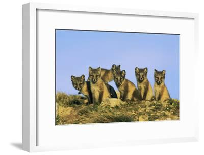 A Row of Curious Young Arctic Foxes (Alopex Lagopus) Eye the Photographer-Norbert Rosing-Framed Photographic Print