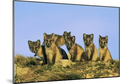 A Row of Curious Young Arctic Foxes (Alopex Lagopus) Eye the Photographer-Norbert Rosing-Mounted Photographic Print