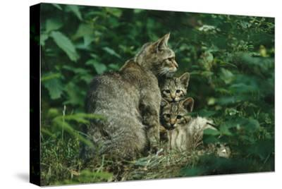 Wildcat with Young, Bayerischer Wald National Park, Germany-Norbert Rosing-Stretched Canvas Print