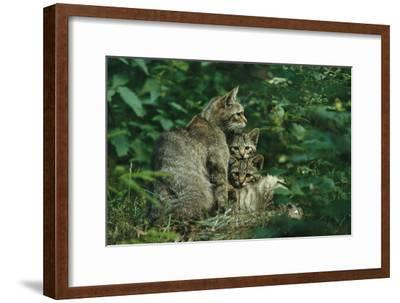 Wildcat with Young, Bayerischer Wald National Park, Germany-Norbert Rosing-Framed Photographic Print