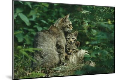 Wildcat with Young, Bayerischer Wald National Park, Germany-Norbert Rosing-Mounted Photographic Print