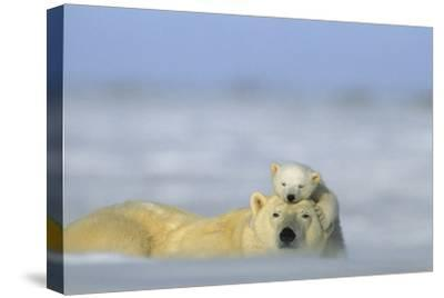 A Polar Bear Cub Finds a Peaceful Sleeping Spot On Its Mother's Head-Norbert Rosing-Stretched Canvas Print