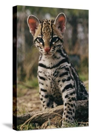 A Young Ocelot (captive) Projects an Image of Innocence-Roy Toft-Stretched Canvas Print