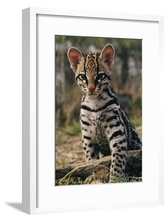 A Young Ocelot (captive) Projects an Image of Innocence-Roy Toft-Framed Photographic Print