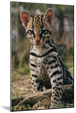 A Young Ocelot (captive) Projects an Image of Innocence-Roy Toft-Mounted Photographic Print