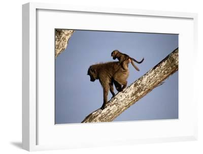 A Mother Olive Baboon (Papio Anubis) Carries Her Baby On Her Back As She Climbs Down a Tree-Tim Laman-Framed Photographic Print