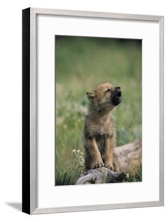 A Wolf Pup (captive) Sits Up and Howls (Canis Species)-Tom Murphy-Framed Photographic Print