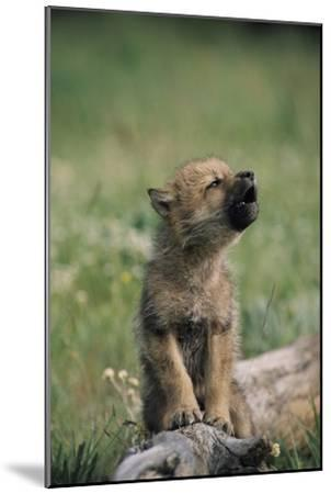 A Wolf Pup (captive) Sits Up and Howls (Canis Species)-Tom Murphy-Mounted Photographic Print