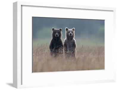 Two Brown Bear Spring Cubs Standing Side-by-side in Curiosity-Barrett Hedges-Framed Photographic Print