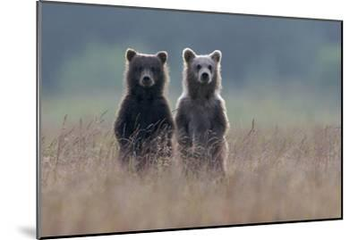 Two Brown Bear Spring Cubs Standing Side-by-side in Curiosity-Barrett Hedges-Mounted Photographic Print