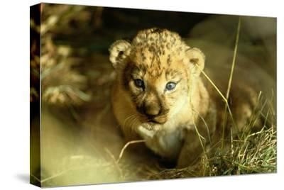 A Two-week-old Lion Cub with Blue Eyes-Beverly Joubert-Stretched Canvas Print