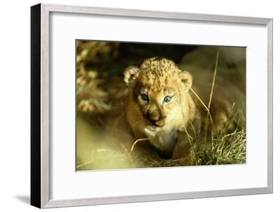 A Two-week-old Lion Cub with Blue Eyes-Beverly Joubert-Framed Photographic Print