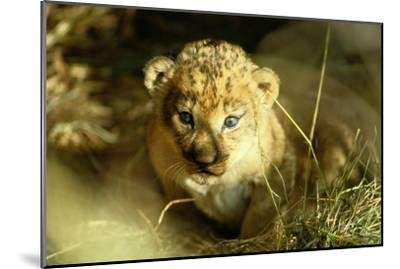 A Two-week-old Lion Cub with Blue Eyes-Beverly Joubert-Mounted Photographic Print