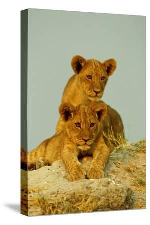 Two Lion Cubs, Resting But Alert-Beverly Joubert-Stretched Canvas Print