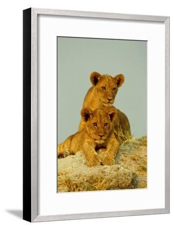Two Lion Cubs, Resting But Alert-Beverly Joubert-Framed Photographic Print
