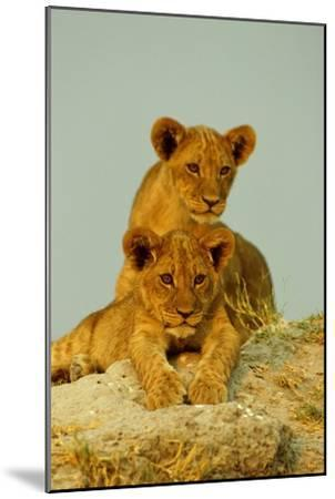 Two Lion Cubs, Resting But Alert-Beverly Joubert-Mounted Photographic Print
