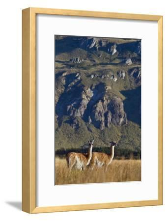 Guanacos Graze and Roam in the Steppe of the Chacabuco Valley-Beth Wald-Framed Photographic Print