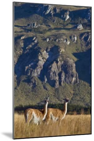Guanacos Graze and Roam in the Steppe of the Chacabuco Valley-Beth Wald-Mounted Photographic Print