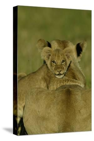 An African Lion Cub, Panthera Leo, Climing Onto It's Mother's Back-Beverly Joubert-Stretched Canvas Print