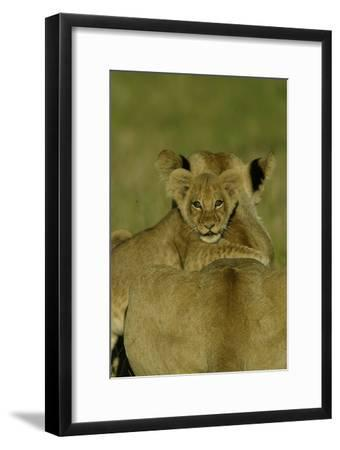 An African Lion Cub, Panthera Leo, Climing Onto It's Mother's Back-Beverly Joubert-Framed Photographic Print
