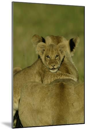 An African Lion Cub, Panthera Leo, Climing Onto It's Mother's Back-Beverly Joubert-Mounted Photographic Print