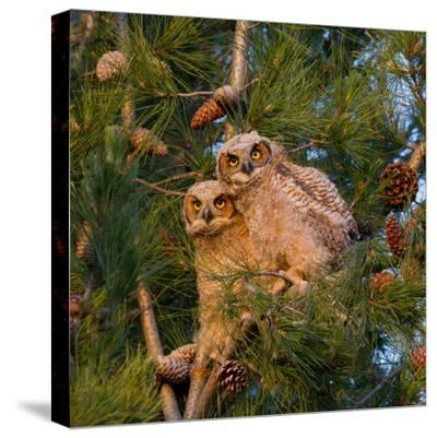Two Owlets Sit in a Pine Tree-Chris Schwarz-Stretched Canvas Print