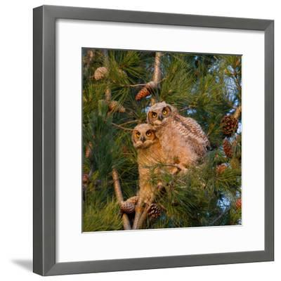 Two Owlets Sit in a Pine Tree-Chris Schwarz-Framed Photographic Print