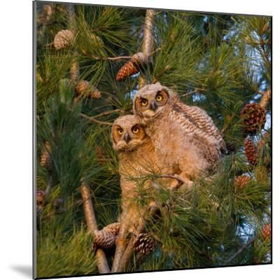 Two Owlets Sit in a Pine Tree-Chris Schwarz-Mounted Photographic Print