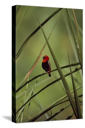 A Male Red Bishop Bird, Euplectes Orix, Perched On a Sedge, Calling-David Pluth-Stretched Canvas Print