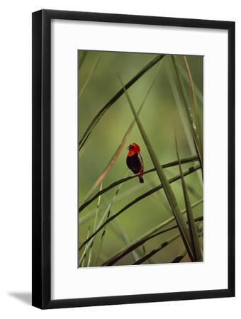 A Male Red Bishop Bird, Euplectes Orix, Perched On a Sedge, Calling-David Pluth-Framed Photographic Print