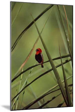 A Male Red Bishop Bird, Euplectes Orix, Perched On a Sedge, Calling-David Pluth-Mounted Photographic Print