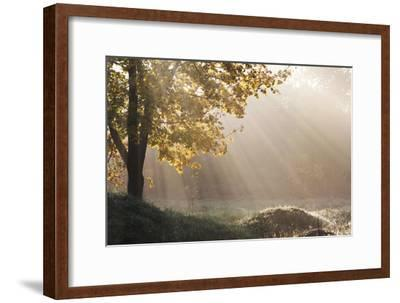 Sun Shining Through the Canopy of a Maple Tree, Acer Species-Joe Petersburger-Framed Photographic Print