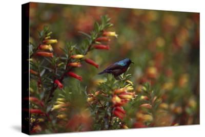 A Red-chested Sunbird, Nectarinia Erythrocerca, Among Flowers-David Pluth-Stretched Canvas Print
