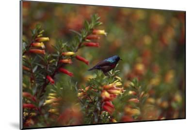 A Red-chested Sunbird, Nectarinia Erythrocerca, Among Flowers-David Pluth-Mounted Photographic Print