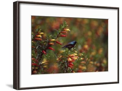 A Red-chested Sunbird, Nectarinia Erythrocerca, Among Flowers-David Pluth-Framed Photographic Print