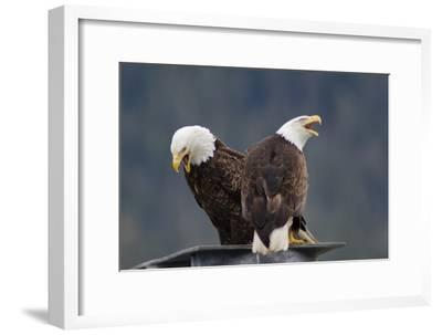 Bald Eagles Perched On a Dock Piling in Juneau Harbor, Calling-Rich Reid-Framed Photographic Print
