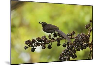 A Female Plumaged Huon Astrapia Bird of Paradise Feeds On Schefflera Fruit-Tim Laman-Mounted Photographic Print